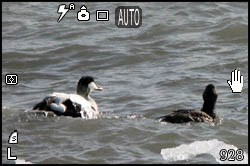 Picture of eider