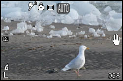 Picture of gull