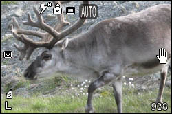 Picture of a reindeer