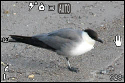 Picture of skua