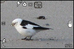 Picture of snow bunting