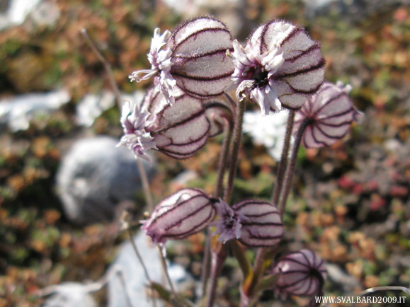 Nodding lychnis