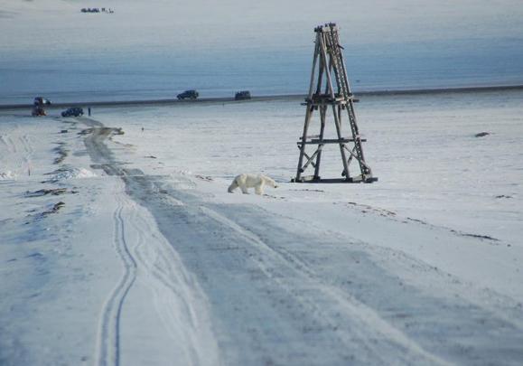Polar bear in Longyearbyen
